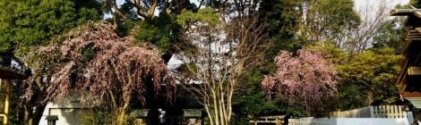 3月24日、伊勢山皇大神宮において注連縄作りを致しました